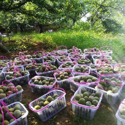 洛阳新安县 美国杏李,味美汁甜,质优量大,价格超值。8月成熟,欲购从速。