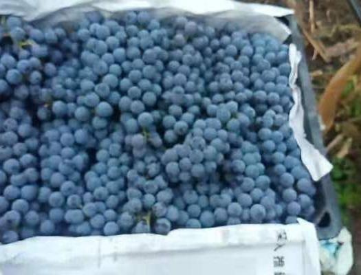紫云苗族布依族自治县 刺龙紫珠葡萄,量出来的酒就是地道的白兰地