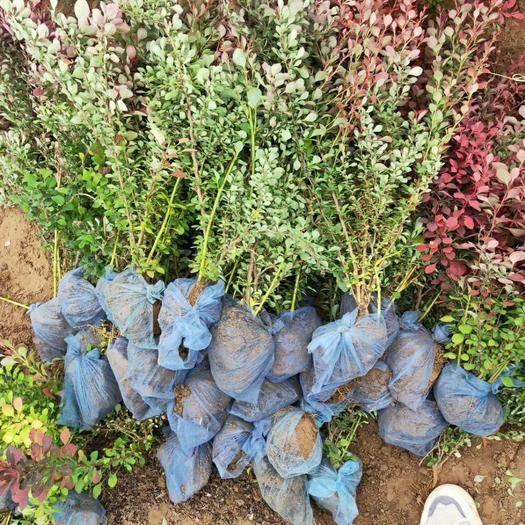 望都縣 河北紅葉小檗保定紅葉小檗價格紅葉小檗70/80公分10萬棵