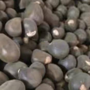 出售文冠果籽