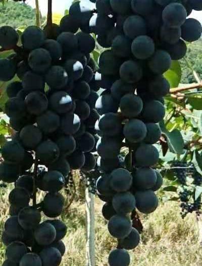 紫云苗族布依族自治县 刺龙紫葡萄,量出来的白酒就是地道的白兰地