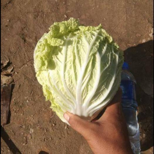 白银靖远县 露天种植精品娃娃菜   无虫眼  绿色蔬菜