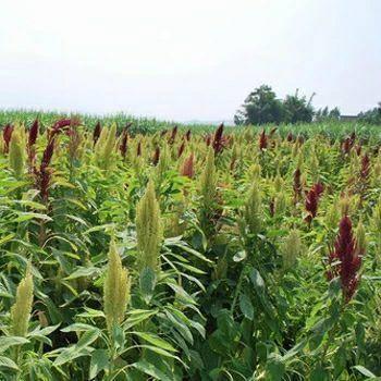 沭阳县 籽粒苋种子新种子包邮