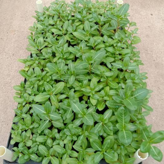 佛山三水区长春花种子 长春花种苗地被观花苗