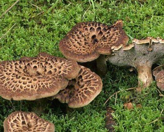 四川省甘孜藏族自治州理塘县 新鲜的虎掌菌     现采现发