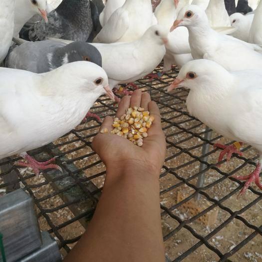 邯鄲武安市肉鴿 青年鴿種鴿