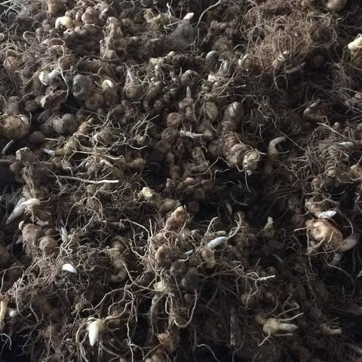 邵阳绥宁县黄精种苗 姜形多花,基地直供,大量货源。