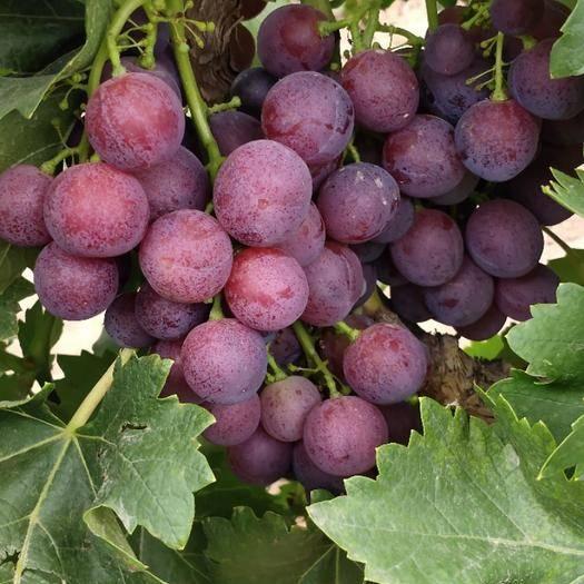 青铜峡市 新鲜上市大地葡萄大量销售