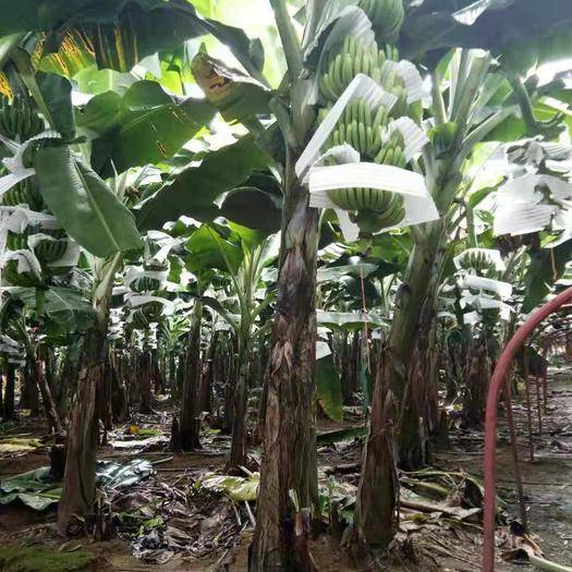 江门台山市 有收购香蕉的吗?