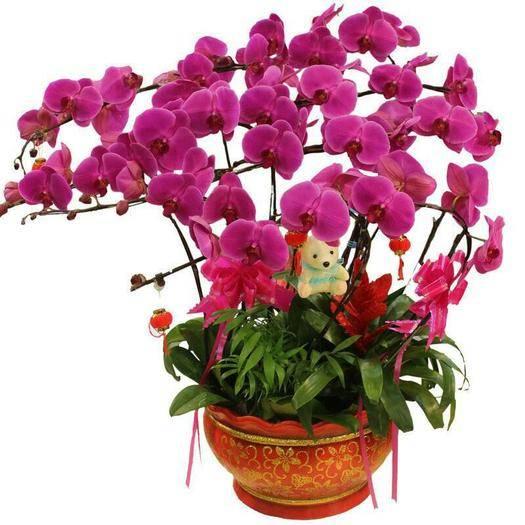 海安市蝴蝶兰苗 蝴蝶兰种子当年开花阳台盆栽室内花种子四季播种植物