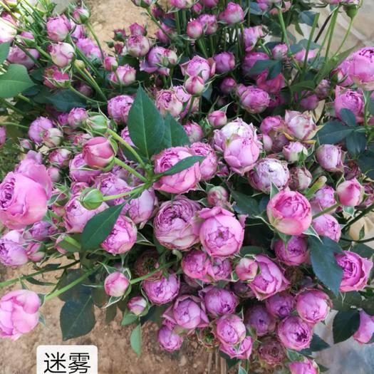 昆明呈贡区 玫瑰苗 月季小苗10-20扦插小苗裸根苗基地直销