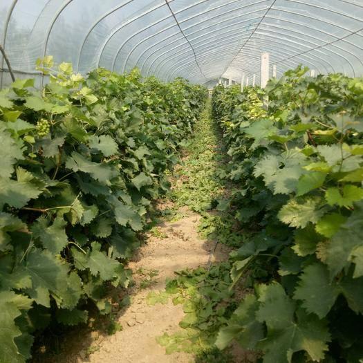 曹县醉金香葡萄 1.5- 2斤 5%以下 1次果