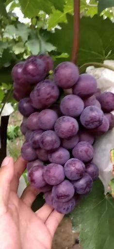 邯郸 香甜可口的葡萄,夏黑,藤稔,维多,青无核,大量上市了,