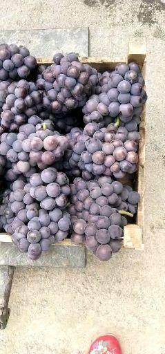 威县140葡萄 货源充足京亚