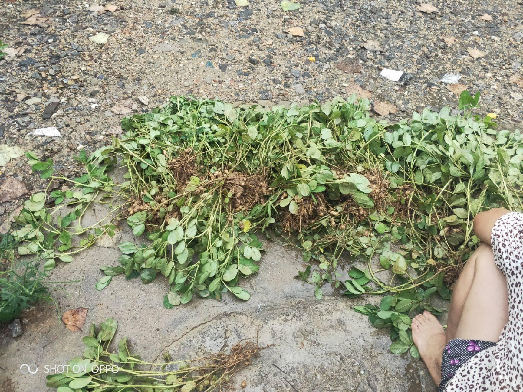 农村原原生态鲜花生,颗粒饱满,无公害