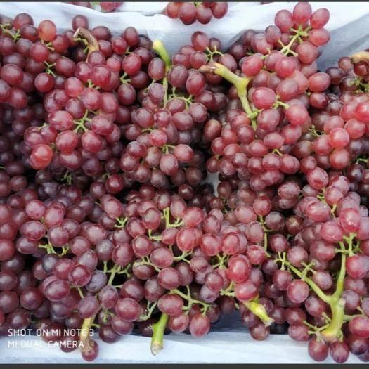 巨野县 红宝石葡萄