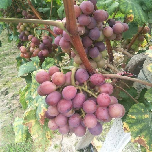 绍兴巨玫瑰葡萄 1.5- 2斤 5%以下 1次果