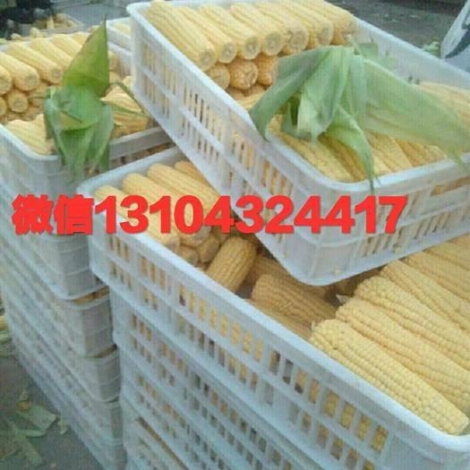 永吉县速冻糯玉米 速冻甜糯玉米,万糯2000和金糯262