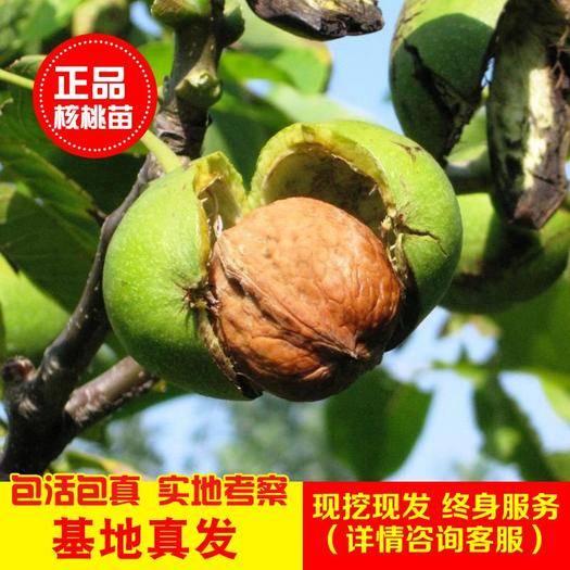 平邑县8518核桃苗 2-3年苗,当年挂果,全国发货,保证品种,包成*死苗免费补发