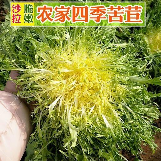 樟树市 黄心花叶苦苣种子 蔬菜沙拉 炒食或凉拌 口感脆爽 可四季种
