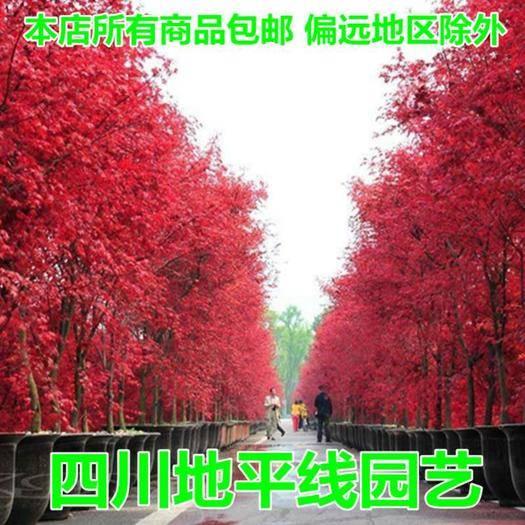 南充嘉陵区五角枫种子 枫树种子美国红枫种子红枫种子新种子包邮