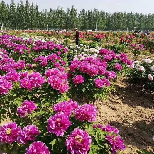 菏澤牡丹區 基地直供觀賞芍藥,保證品種,成活率高,品質好