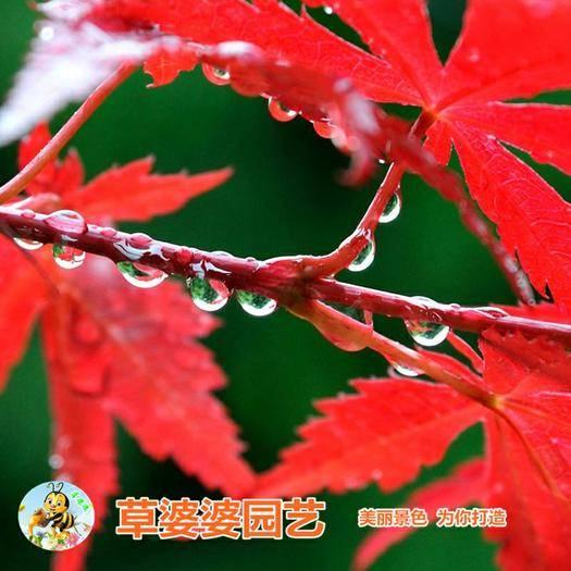 沭阳县 枫树种子 美国红枫种子五角枫种子新种子包邮