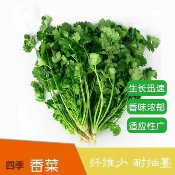 四季香菜种子 耐热耐寒 耐抽苔 生长快速 香味浓 产量高