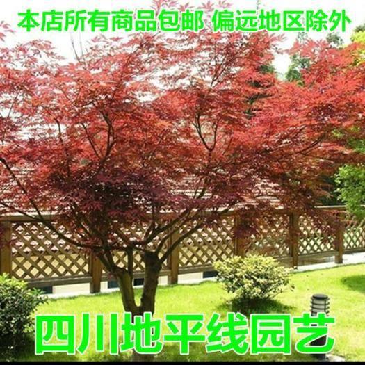 南充 枫树种子青枫枫种子五角枫种子新种子包邮
