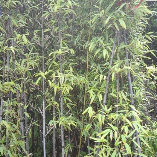 漳州龍海市 紫竹 竹子高3米福建漳州苗木