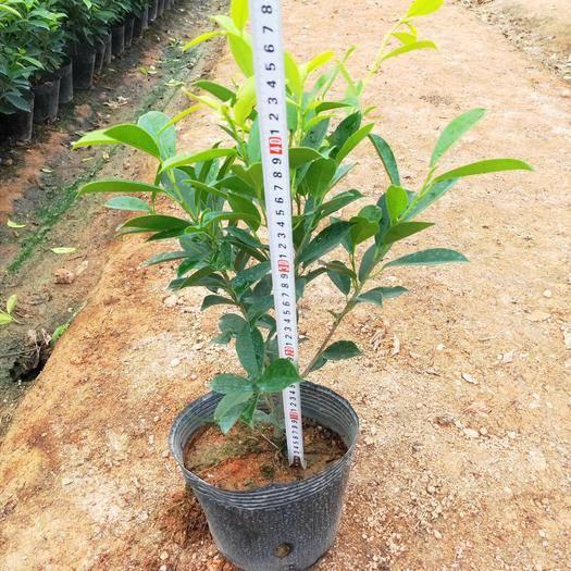 漳州龙海市 黄金榕金叶榕高40到50厘米福建漳州苗木基地