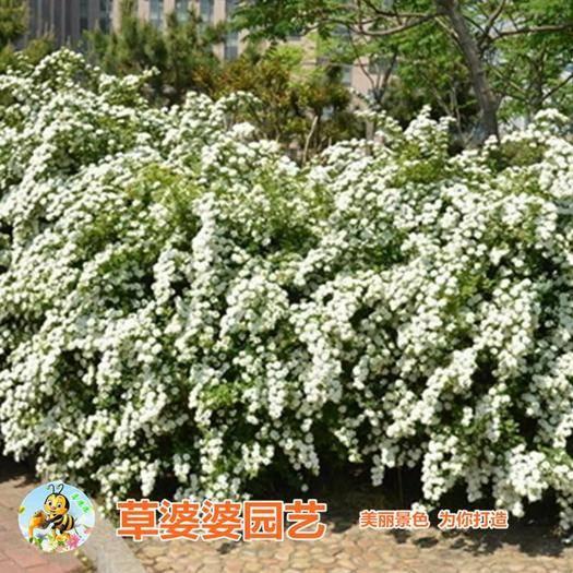 宿迁沭阳县国庆菊苗 绣线菊种子新种子包邮