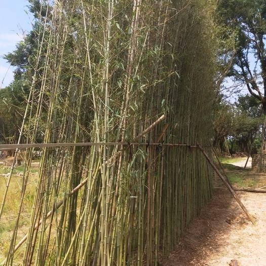 漳州龍海市 剛竹 竹子高4米到5米福建漳州苗木基地