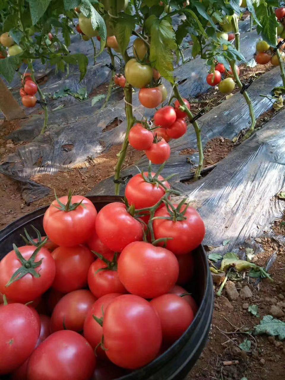硬粉番茄 漢姆番茄硬粉