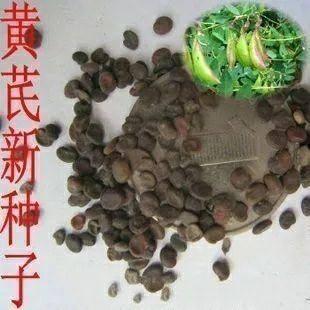 武威凉州区黄芪种苗 种子干净,品种好!