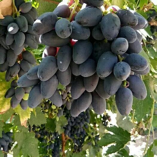 哈密伊州区 新疆黑美人A17葡萄,颗粒大,糖度高,质量保证,价格便宜。
