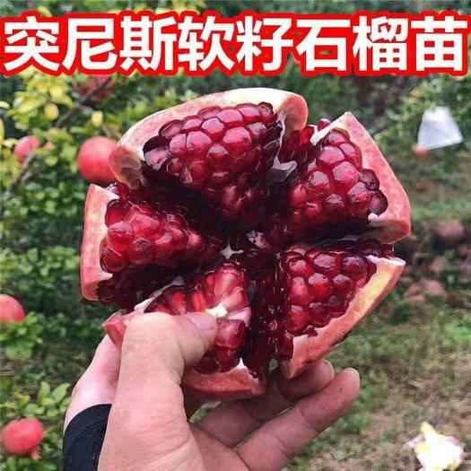 临沂平邑县突尼斯软籽石榴树苗 嫁结苗  包品种   包成活率