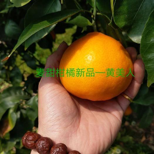 象山县黄美人柑橘枝条 黄美人一代母本嫁接血统纯正,多年种植经验一卖相传