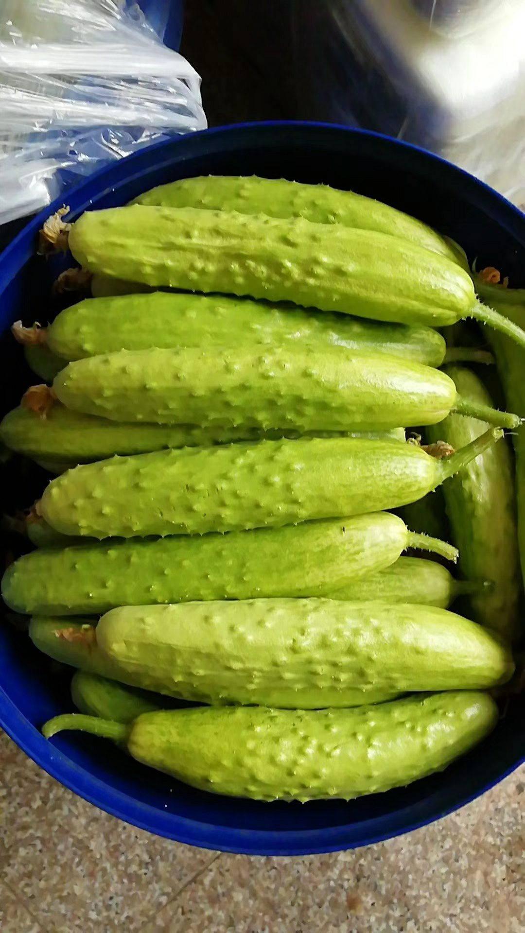 海陽白黃瓜,頭茬自家日產500-1000斤,新老客戶訂貨提前