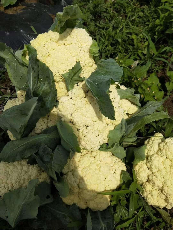 白花菜花 青管小米花花菜,无公害食品