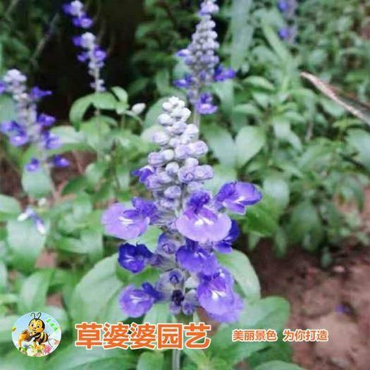 宿迁沭阳县 鼠尾草种子好种易活新种子包邮