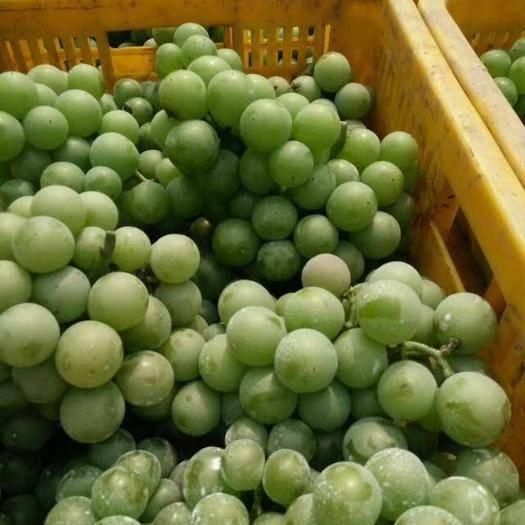 临朐县 临朐做罐头用青色套袋巨峰葡萄大量上市