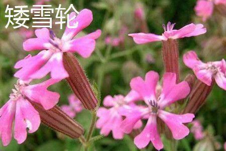 宿迁沭阳县 高雪轮种子矮雪轮种子新种子包邮