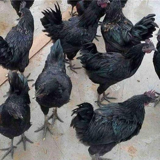 南宁西乡塘区 五黑鸡苗,成活高,包打预苗