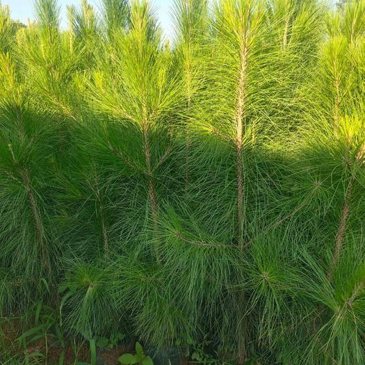 宜良县湿地松树苗 湿地松,荒山树种