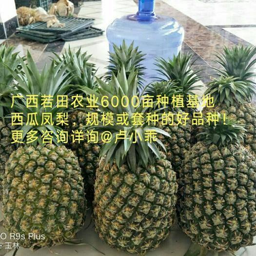 南宁良庆区台农22号 西瓜凤梨 套种首选品种