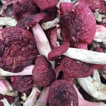 白葱菌 红菇 野生菌类