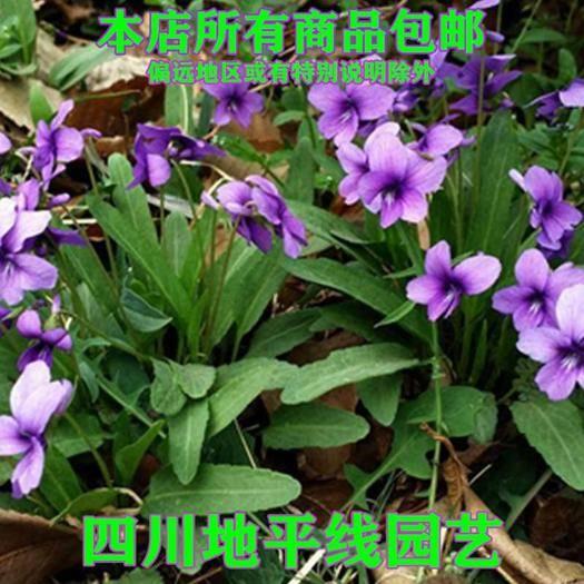南充嘉陵区 紫花地丁种子新种子包邮