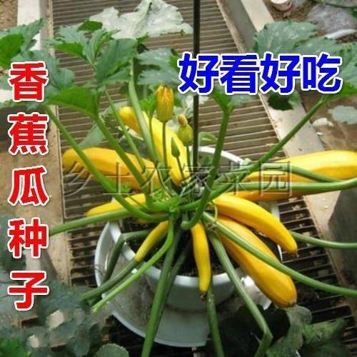 连云港连云区香水瓜种子 香蕉瓜种子 特色蔬菜阳台盆栽种菜金皮西葫芦 四季易种