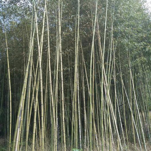 腾冲市 螺母竹,行道景观绿篱竹子